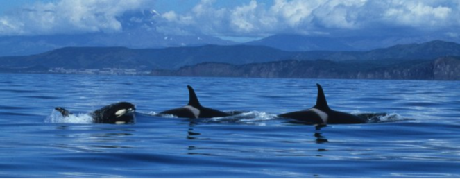 Just say NO to captive ORCAS!